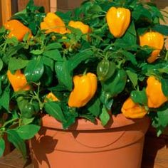 Mohawk Hybrid Pepper -- compact and fruitful