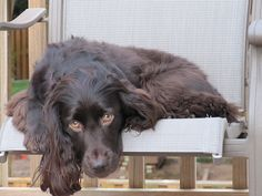 Boykin Spaniel   Probable included breeds that developed the Boykin are the Chesapeake Bay Retriever, the Springer Spaniel, the American Water Spaniel, and the Cocker Spaniel.