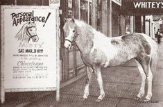 Place Unknown — Misty (aka Misty of Chincoteague) Pied Piper. Barrel Racing Saddles, Barrel Racing Horses, Horse Halters, Horse Saddles, Chincoteague Ponies, Chincoteague Island, Horse Facts, Horse Show Clothes, Horse Books