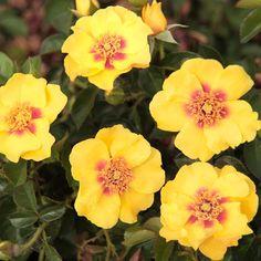 Eyeconic : Climbing Rose, Meilland