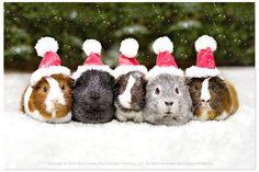 MERRY CHRISTMAS! From the cavies at the guinea pig calendar company!