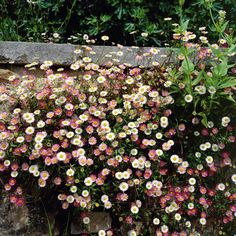 Erigeron karvinskianus  • Mexican Daisy. Stunning for under planting roses and around steps. Loves the sun and self seeds