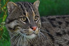 Granjas de langostinos de Tailandia amenazan a raros gatos pescadores - Thailand's Shrimp Farms Threaten Rare 'Fishing Cats'