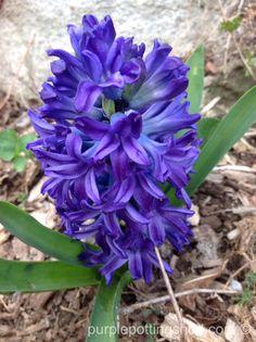 Beauty of blue, a blue hyacinth, www.purplepottingshed.com