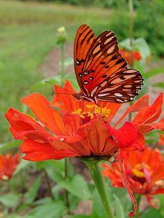 Orange butterfly on orange flowers Butterfly Kisses, Butterfly Flowers, Monarch Butterfly, Orange Flowers, Orange Butterfly, Butterfly Species, Origami Butterfly, Beautiful Bugs, Beautiful Butterflies