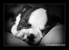 Photo of Sleepy Boston Terrier puppy face by professional photographer with an international reputation named Peter Prior. http://www.bterrier.com/beautiful-boston-terrier-dogs-photos-by-peter-prior/
