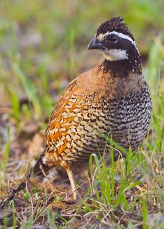 Northern Bobwhite (Quail) - photo by Dick Hatfield for Capture Arkansas