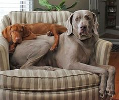 Vizsla & Weimaraner - This picture needs a cat on top of the dogs to be complete. Description from pinterest.com. I searched for this on bing.com/images