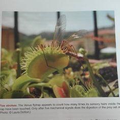 La mia foto su Current Biology #carnivorousplants #carnivoroustagram #currentbiology #articoloscientifico #science #biology #dionaeamuscipula #venusflytrap #journal #magazine #rivista by feruncolino