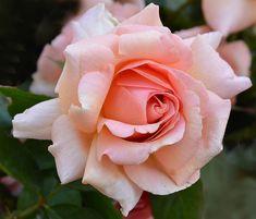 Jane Goodall Hybrid Tea Rose at Jackson and Perkins Tea Rose Perfume, Perfume Diesel, Grow Organic, Organic Plants, Organic Gardening, Gardening Tips, Gardening Quotes, Flower Gardening, Flowers
