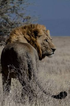 Male Lion Lion Walking, Male Lion, Big Cats, Rey, Animal Photography, Lions, Animals And Pets, Wildlife, African