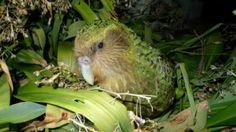 Bufnița-papagal, o pasăre ciudată în pericol de dispariție