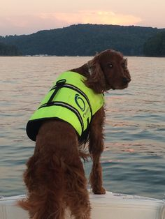 """Irish Setter who doesn't need a life jacket gives us the """"look"""""""