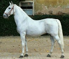 Kladruber. The high-set, powerful and well-arched neck of the Kladruber was a trademark feature of their Spanish-Neapolitan ancestors, and contributes to their appearance in harness. Img: Kladruber stallion, Sacramoso Rabia VII.