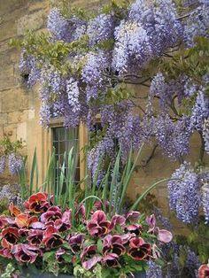 コッツウォルズの藤の花 : アンティークレンガ屋嫁日記