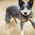 21 Most Intelligent Dog Breeds.  Did Yours Make The List?