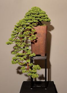 Juniper bonsai Junipero, Bonsai Plants, Bonsai Trees, Plantas Bonsai, Juniper Bonsai, Ikebana, Water Features, Herbs, Japanese Culture