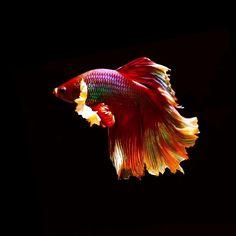Pretty Fish, Cool Fish, Beautiful Fish, Betta Fish Types, Betta Fish Tank, Beautiful Sea Creatures, Animals Beautiful, Colorful Fish, Tropical Fish