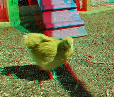 "Here are a few pictures introducing the new chicks at six weeks: ""Ginger"" is a Buff Orpington and is ve. 3d Photo, Photo Art, 3d Pictures, 3d Glasses, Glitch Art, Cool Pets, Photomontage, Human Body, Red And Blue"