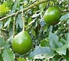 Pancho Avocado Tree http://www.pinterest.com/dreamsequence/edible-gardens/