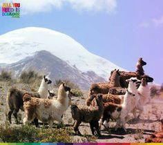 Llamas and cotopaxi...Ecuador