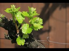 Szőlő szaporitása / Így csinálom én - YouTube Grape Vines, Herbs, Make It Yourself, Fruit, Youtube, Gardening, Vineyard Vines, The Fruit, Garten