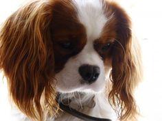 cavalier king charles spaniel The puppy I want sooooo badly right now!!!!!!!!!!!!!!