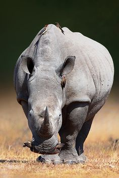 """White Rhinoceros Front View"" ~ Photography by Johan Swanepoel on 500px."