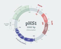 DNA plasmid visualization component using AngularJS and SVG.