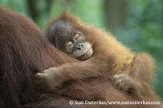 Orangutan Crisis – Sumatran Orangutan Society