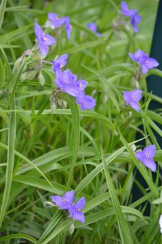 Tradescantia bracteata - Prairie Spiderwort: Available at Prairie Moon Nursery Rhizome, Flower Garden, Wild Flowers, Plants, Native Plants, Prairie, Prairie Garden, Native Plant Gardening, Prairie Flower