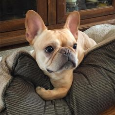 The major breeds of bulldogs are English bulldog, American bulldog, and French bulldog. The bulldog has a broad shoulder which matches with the head. Cute French Bulldog, French Bulldog Puppies, French Bulldogs, Cream French Bulldog, American Bulldogs, Baby Animals, Funny Animals, Cute Animals, Cãezinhos Bulldog
