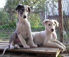 Borzoi puppies are so cute!