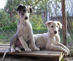 Borzoi puppies are so cute!