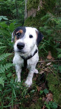 Der Parson Russell Terrier ist das hochläufige Pendant zum Jack Russell Terrier. Oftmals zu Jagd genutzt ist der schlaue Terrier auch als Familienhund geeignet