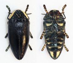 https://flic.kr/p/DsEJnj | Sternocera orissa monacha | Klug,1855 Sex: ? Data: 03-1995 - Mangochi - malawi Size: 35mm
