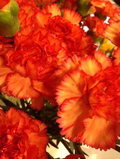 Rød/orange nellik - Dianthus Orange, Rose, Plants, Pictures, Pink, Roses, Flora, Plant, Planting