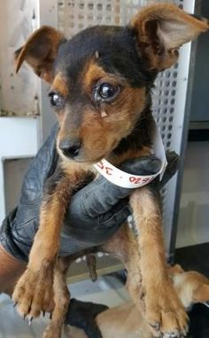 Animal ID\t35405780 \r\nSpecies\tDog \r\nBreed\tTerrier\/Mix \r\nAge\t2 months 1 day \r\nGender\tMale \r\nSize\tSmall \r\nColor\tBlack\/Tan \r\nSpayed\/Neutered\t \r\nSite\tDepartment of Animal Services, City of El Paso \r\nLocation\tFeline \r\nIntake Date\t5\/19\/2017