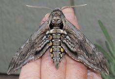 tomato hornworm moth - Google Search