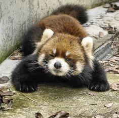 Red Panda Cute, Red Pandas, Kawaii, Cute Baby Animals, Animal Kingdom, Animals Beautiful, Cute Babies, Wildlife, Puppies