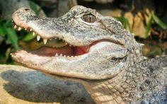 Alligator-hq-wallpaper-280x175.jpg 280×175 pixels