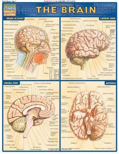 The Brain (Quickstudy: Academic) by Inc. BarCharts http://www.amazon.com/dp/1572225173/ref=cm_sw_r_pi_dp_GgFStb1M19FPE8RC $3.55