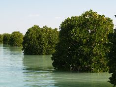 The Mangrove forests of Qeshm or Hara forests of Qeshm