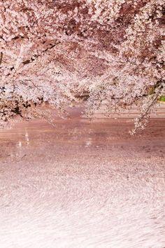 lifeisverybeautiful: Cherry Blossom, Aomori, Japan - ❤ Boulevard of dreams ❤ Beautiful Nature Wallpaper, Beautiful Landscapes, Japan Sakura, Sakura Cherry Blossom, Cherry Blossoms, Blossom Trees, Flower Wallpaper, Nature Pictures, Beautiful World