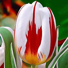 """The """"Canada 150"""" Tulip, created in honour of Canada's 150th birthday in 2017 <3"""