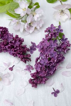 12 Facts Every Lilac Lover Should Know. Want to stop and smell the flowers? Purple lilacs are most fragrant on a sunny, warm day. Lilac Tree, Lilac Flowers, Pretty Flowers, Lilac Color, Purple Lilac, Purple Rain, Syringa Vulgaris, Lilac Bushes, Tulips Garden