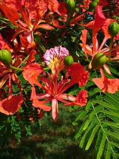 Delonix regia 3a | cultivated, South Miami, Florida, USA. Ba… | Flickr - Photo Sharing!