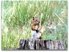 NM Chipmunk Wild & Wordless Wednesday When looking for a knowledgeable Realtor® to assist you with your Albuquerque, Rio Rancho or surrounding NM ar. Chipmunks, Squirrels, Wild Animals, Wildlife, Mexico, Bird, Future, Pets, Animals And Pets