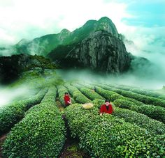 Tea Plantation - Mount Wuyi, Fujian, China