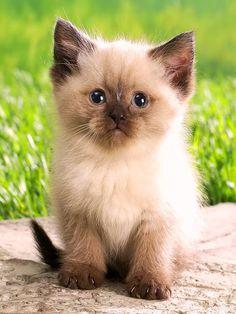 ano mido - Google+pretty kitten